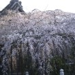 枝垂れ桜から浦和宿古本いち