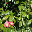 桜、そろそろ咲きます