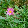 祇園菊の初花
