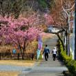 河津桜は今日で終わりに