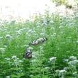 植物公園のアサギマダラ