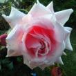 1本のバラ