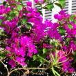 『季節の花』 ブーゲンビレア