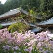 <弘仁寺> 境内をうす紫色に彩る満開のシオン