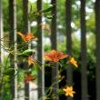 処暑に咲くオレンジの檜扇(ヒオウギ)の花