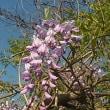 藤の花どっさり・そして苗を植える