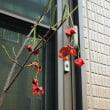 ヒロハツリバナ 広葉吊花