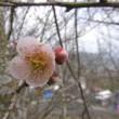 久米梅の里公園の開花状況