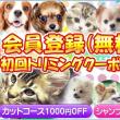 宮城県猫ブリーダー/この子で決まり!メインクーン女の子