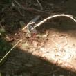 カナヘビの交尾 ほか