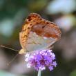 信州塩田平・・・農家の庭の花畑・・・ウラギンスジヒョウモンが飛ぶ