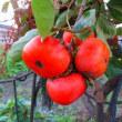 柿も剪定適期
