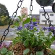葉牡丹と庭