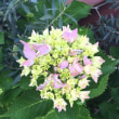 雨の季節の予感!?紫陽花が咲き始めました