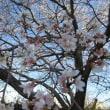 寒空に桜が満開