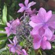 うちの紫陽花♪