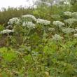 伊吹山で秋の植物観察会