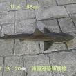 笑転爺の釣行記 7月7日☀☁ 久里浜・浦賀(サメ86cm)
