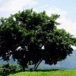楽々散策30横津岳のトウゲブキ