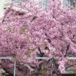 河津桜が葉桜に・・・((+_+))