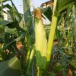 トウモロコシ収穫           虫が少ない