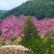 春爛漫の京都 ~ 槇尾のミツバツツジ