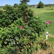咲き残りの、ハマナス