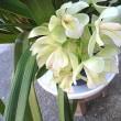 シンビジウムという花