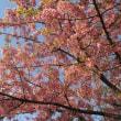 寒桜と寒緋桜