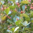 薄紅色の木の実とメジロ