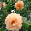 今年のバラ その2