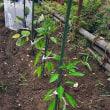 家庭菜園 ジャガイモ収穫