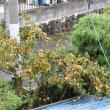 10月10日  今年は柿の生り年(なりどし)?