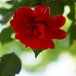 椿の花が咲く頃(Ⅳ)