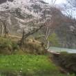 庄川水記念公園の桜満開