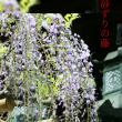 春日大社、砂ずりの藤。
