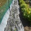 スナックエンドウ・グリーンピース・キヌサヤを畑に植えました