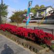 日田市隈町公園の躑躅( ツツジ)見頃です