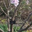 10月桜満開でした