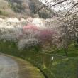 梅の花を見に高尾へ