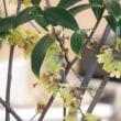 蝋梅の香りがいっぱい‼️ 春が来た感じ⁉️