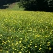 くりはま花の国、コスモス