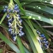 庭に咲いたノシラン(熨斗蘭)