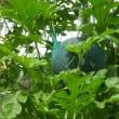 タマネギの種まき開始。そして2017年のスイカ栽培振り返り、来年に向けて…
