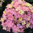 ディスコディップの花は