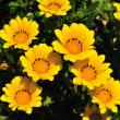 あざやかな黄色の花ですね。きっとガザニアの仲間でしょう。(Photo No.14304)