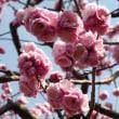 東谷山フルーツパークの梅が見頃でした。