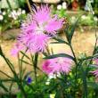 撫子(なでしこ)という花