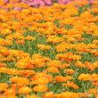 季節の花「金盞花(きんせんか)」