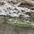 雪のアオシギ